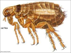 mooc-flea1